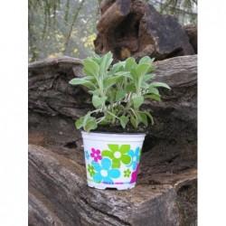 Salvia compatta