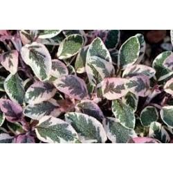 Salvia tricolore
