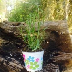 Artemisia Dragoncello